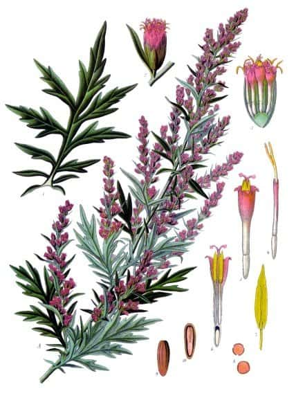 Mugwort For Lucid Dreams: All you need to know - Lucid Dream Society